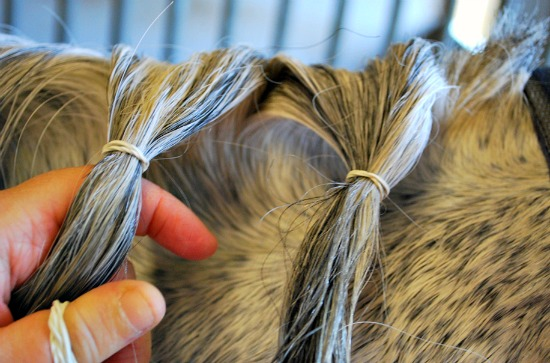 Plaiting bands on mane (www.Basic-Horse-Care.com)